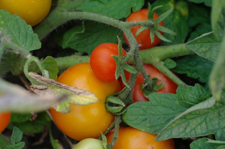 BioOase_Sommer06_Tomate